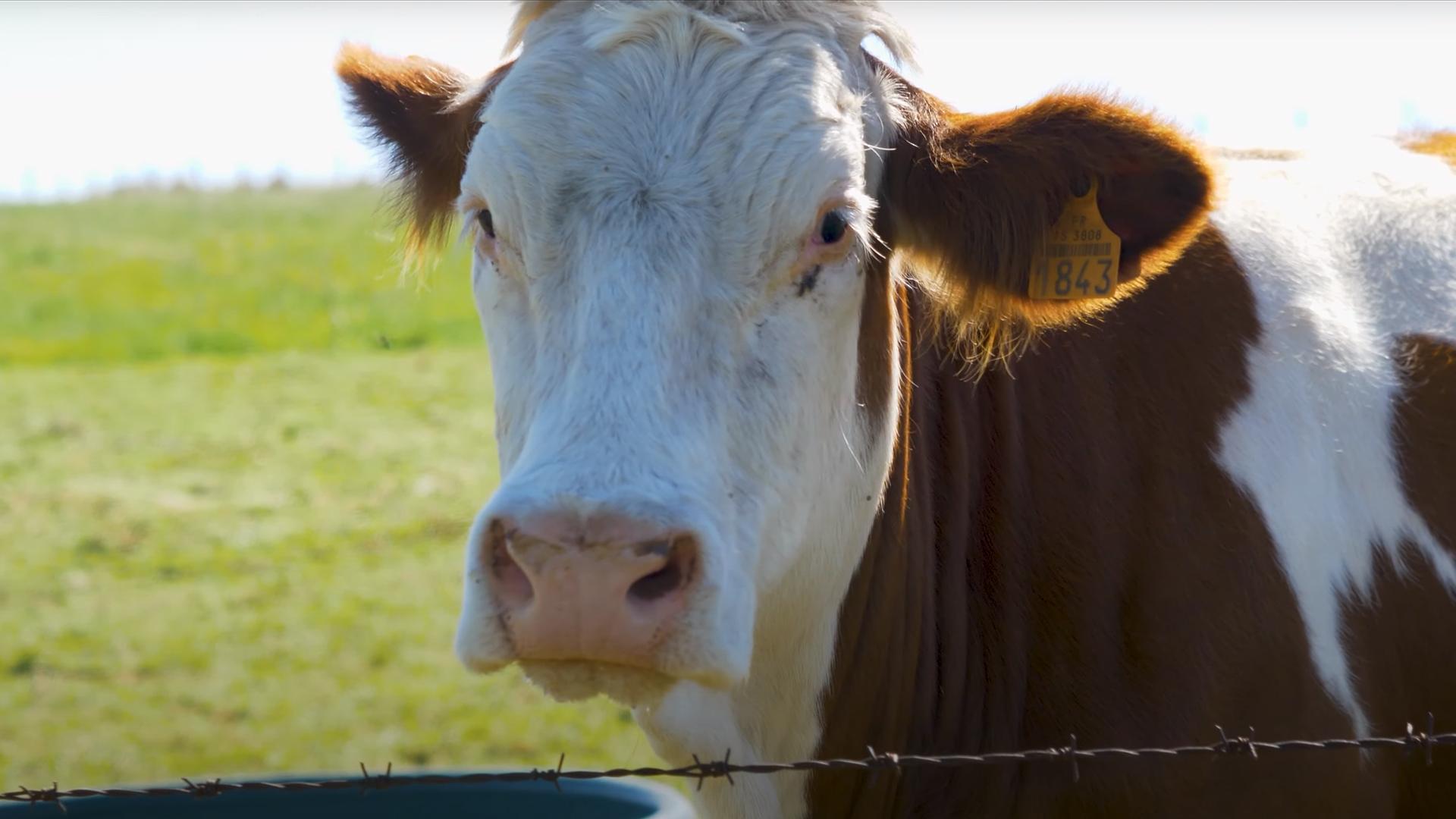 MSA – Les vaches laitières