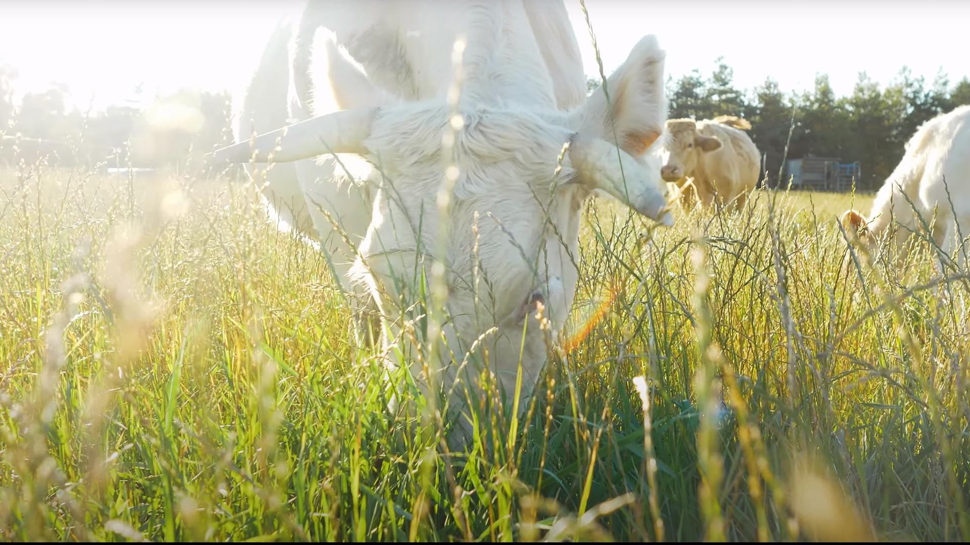 MSA – Vaches allaitantes